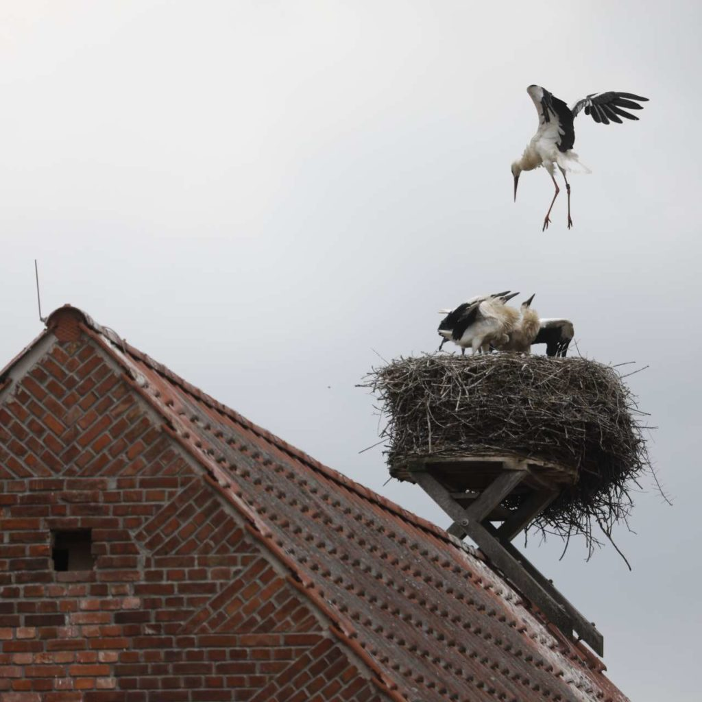 Pair of storks in nest on the roof of a house