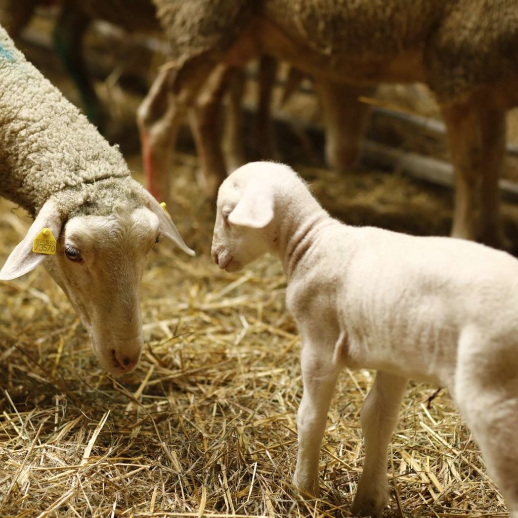 Little lamb with sheep in straw
