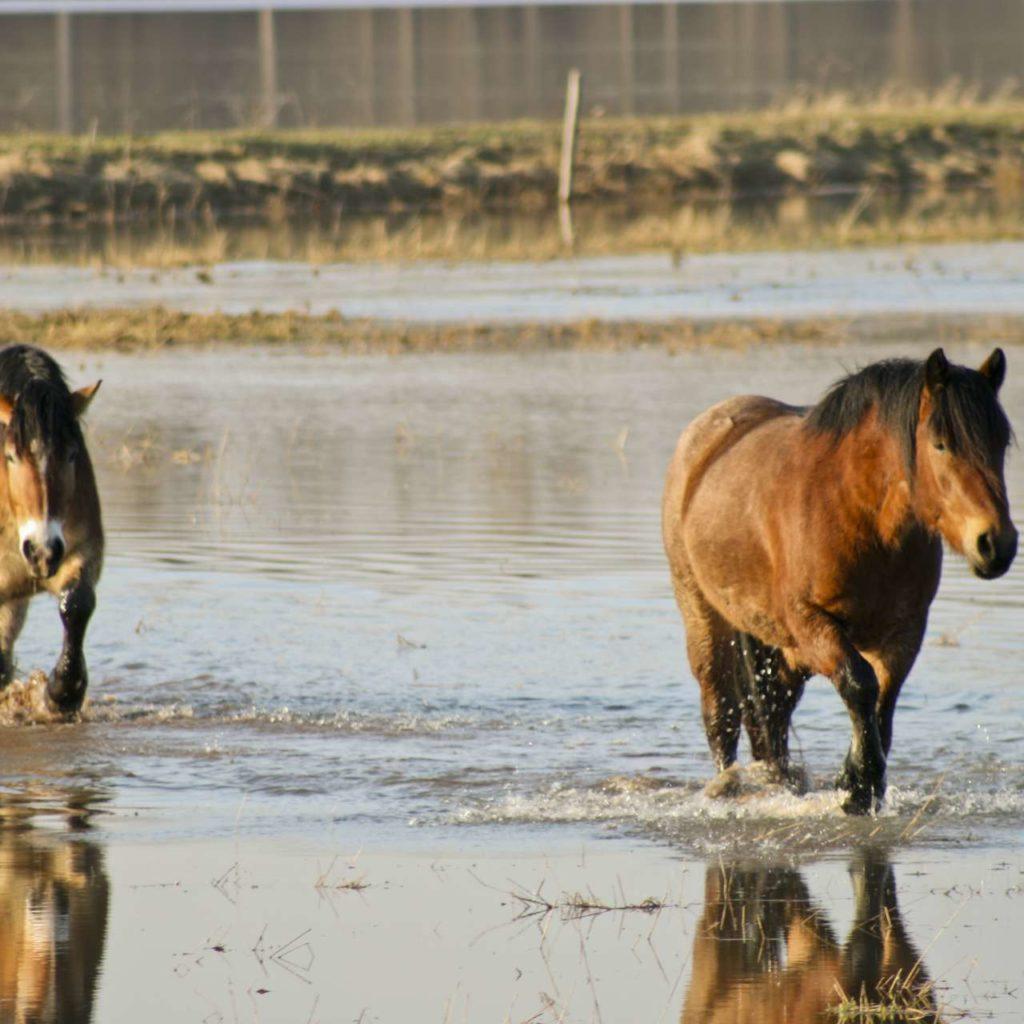 Pferde im knöchelhochen Wasser